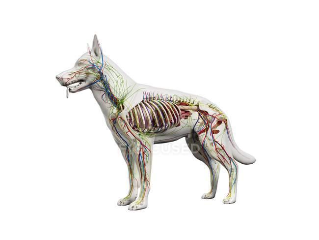Vollständige Hundeanatomie mit inneren Organen und Skelett, digitale Illustration. — Stockfoto
