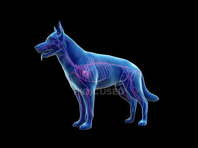 Struttura del sistema vascolare del cane con vasi sanguigni colorati nel corpo trasparente, illustrazione del computer . — Foto stock