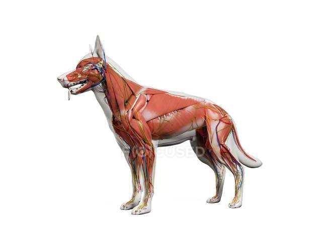 Full dog anatomy with musculature and internal organs, digital illustration. — Stock Photo