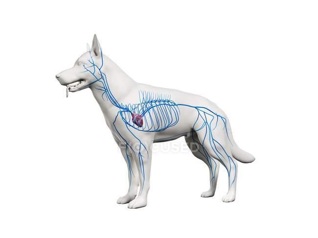 Veins in transparent dog body, anatomical computer illustration. — Stock Photo