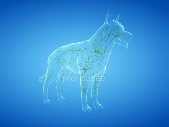 Estructura del sistema linfático perro con vasos linfáticos, ilustración digital . - foto de stock
