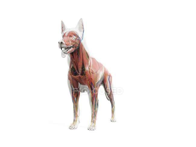 Full dog anatomy with internal organs and musculature, digital illustration. — Stock Photo