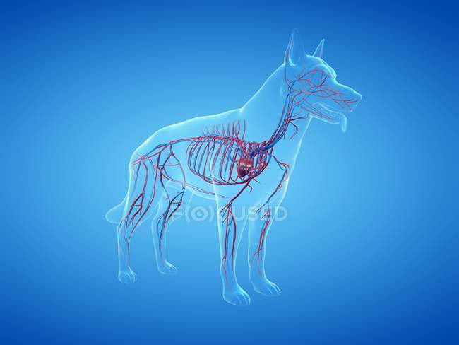Structure of dog vascular system with colorful blood vessels in transparent body, computer illustration. — Stock Photo