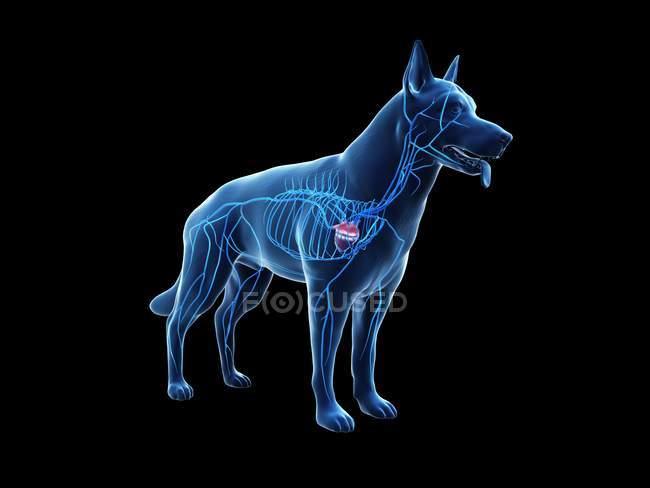 Venas en cuerpo de perro transparente, ilustración anatómica por ordenador . - foto de stock
