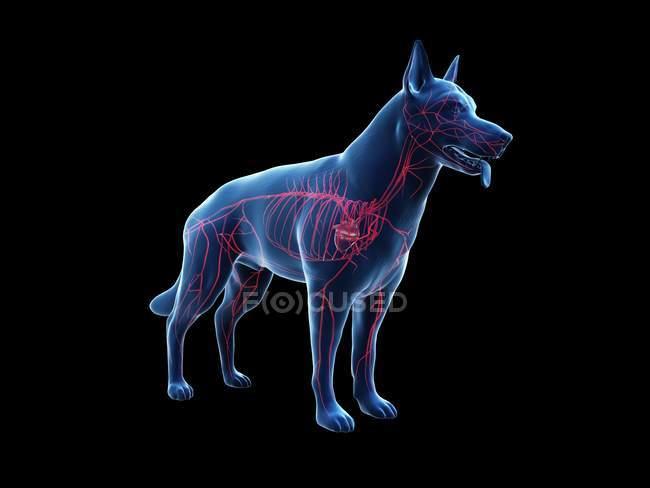 Arterie nel corpo del cane trasparente, illustrazione anatomica del computer . — Foto stock