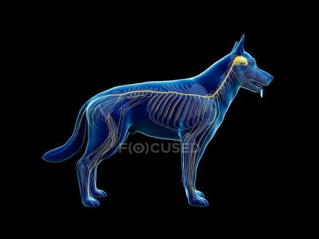 Структура нервной системы собаки, компьютерная иллюстрация . — стоковое фото