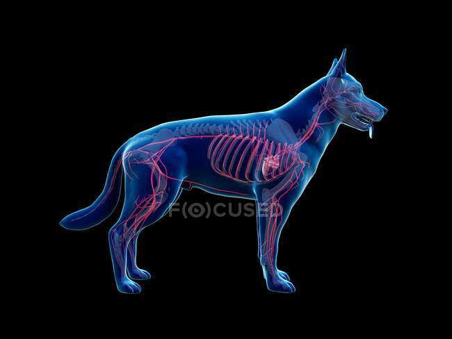 Arteries in transparent dog body, anatomical computer illustration. — Stock Photo