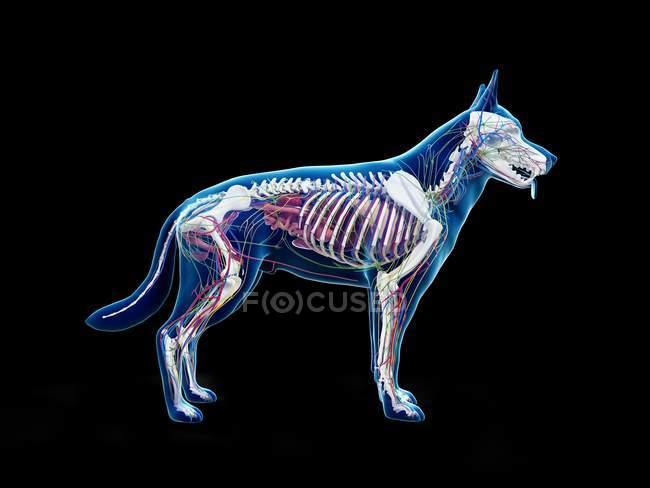 Full dog anatomy with skeleton and internal organs, digital illustration. — Stock Photo