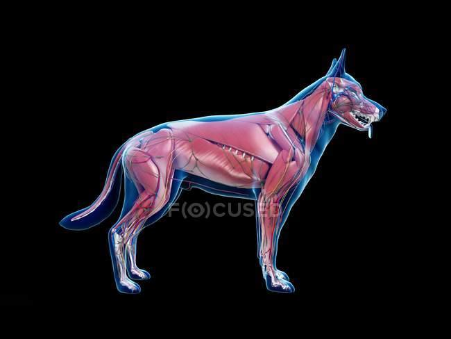 Full dog musculature with internal organs, digital illustration. — Stock Photo