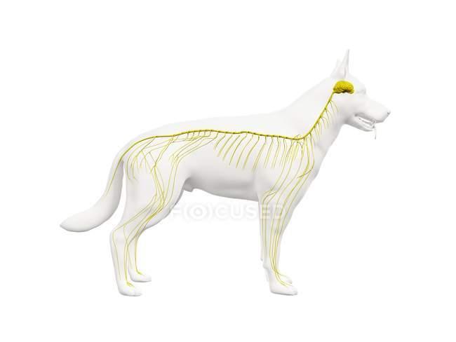Structure of dog nervous system, computer illustration. — Stock Photo