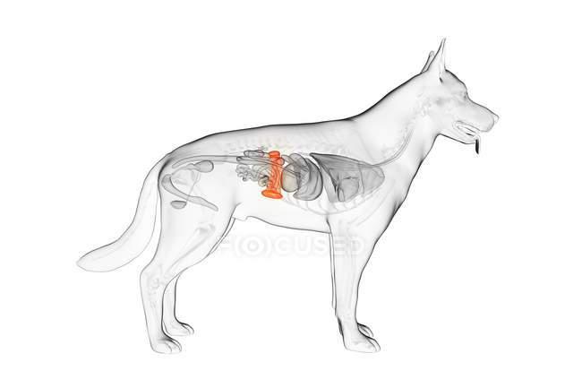 Anatomy of dog spleen, zoological digital illustration. — Stock Photo