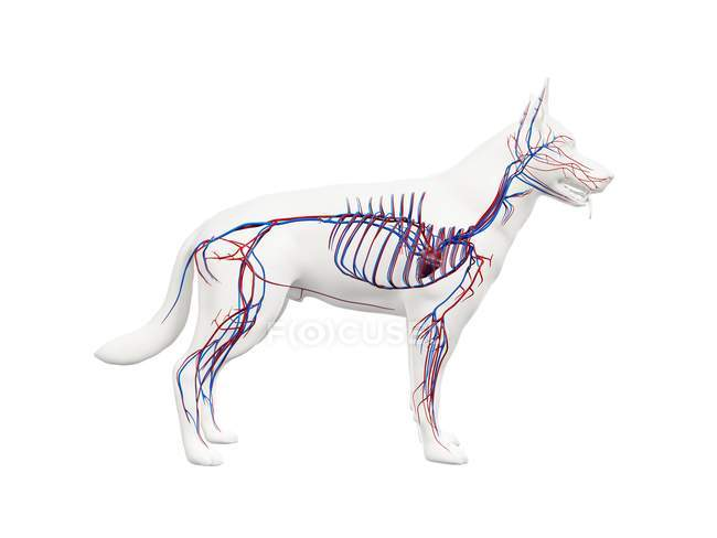 Estructura del sistema vascular del perro con vasos sanguíneos de colores en el cuerpo transparente, ilustración de la computadora . - foto de stock