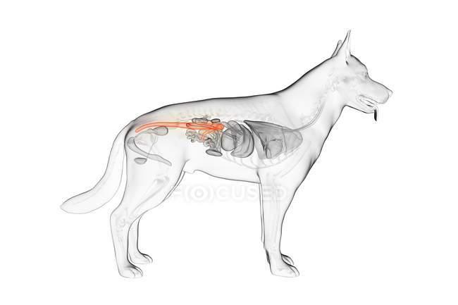 Anatomy of dog colon in transparent body, computer illustration. — Stock Photo