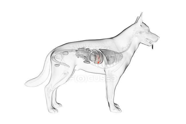 Anatomy of dog gallbladder in transparent body, computer illustration. — Stock Photo