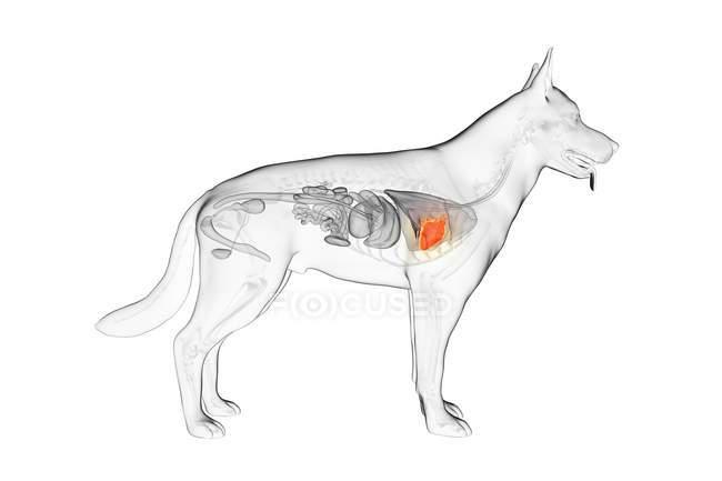 Anatomía del corazón del perro en el cuerpo transparente, ilustración por computadora . - foto de stock