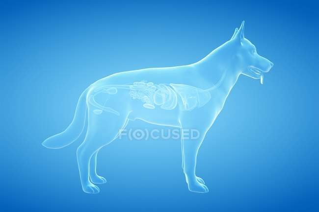 Vollständige Hundeanatomie mit transparenten inneren Organen, digitale Illustration. — Stockfoto