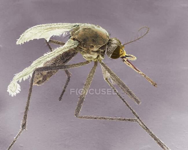 Zanzara tigre asiatica femmina, micrografo elettronico a scansione colorata . — Foto stock