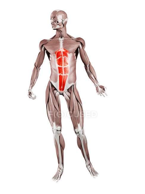 Физическая фигура мужчины с подробным мышцей живота прямой кишки, цифровая иллюстрация . — стоковое фото
