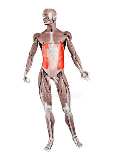 Figura fisica maschile con dettagliato muscolo obliquo esterno, illustrazione digitale . — Foto stock