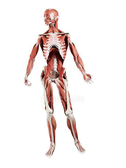 Анатомическая модель человека, показывающая глубокие мышцы, компьютерная иллюстрация. — стоковое фото