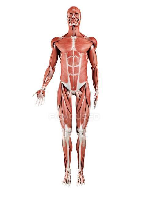 Male musculature in full length, front view, digital illustration isolated on white background. — Stock Photo