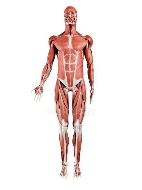 Musculature masculine en pleine longueur, vue de face, illustration numérique isolée sur fond blanc . — Photo de stock