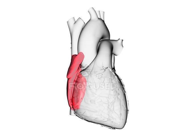 Corazón humano con aurícula derecha de color, ilustración por ordenador . - foto de stock