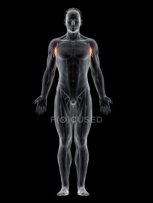 Cuerpo masculino con músculo Coracobraquial de color visible, ilustración por computadora . - foto de stock