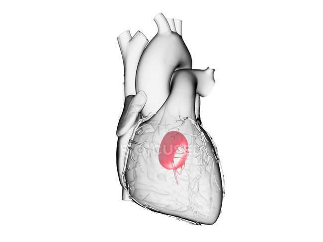 Corazón humano con válvula mitral de color, ilustración por ordenador . - foto de stock