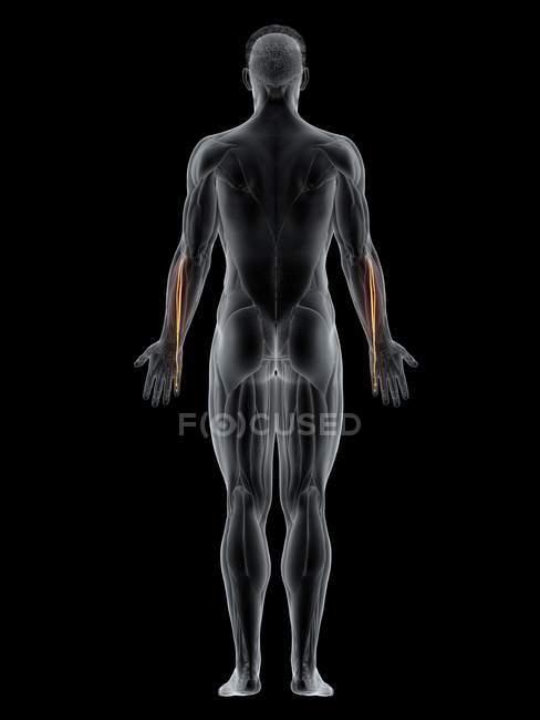 Cuerpo masculino con músculo Extensor digiti minimi de color visible, ilustración por ordenador . - foto de stock