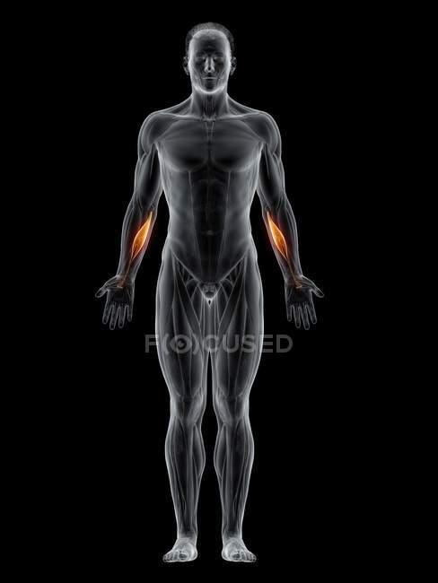 Мужское тело с видимым цветным Flexor carpi радиалис мышцы, компьютерная иллюстрация . — стоковое фото