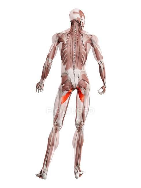 Мужская фигура с подробным описанием приводящей мышцы грудной клетки, цифровая иллюстрация. — стоковое фото