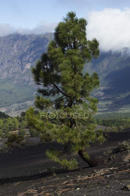 Canarian pine trees growing in rocky mountains of La Palma, Canary Islands. — Stock Photo