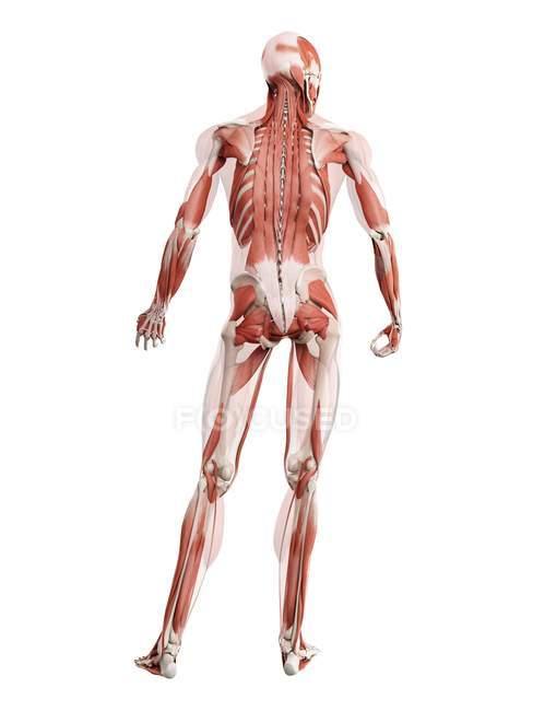 Анатомическая модель человека, показывающая глубокие мышцы спины, компьютерная иллюстрация. — стоковое фото