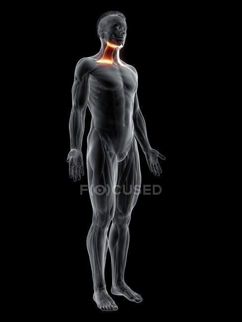 Figura masculina abstracta con músculo Platsyma detallado, ilustración digital . - foto de stock