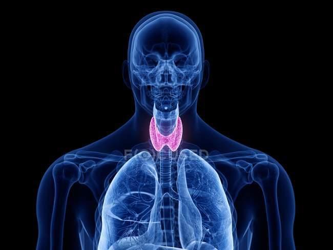 Silueta masculina transparente con glándula tiroides visible, ilustración por computadora . - foto de stock