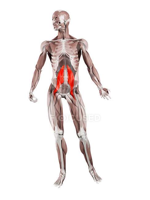 Physical male figure with detailed Psoas major muscle, digital illustration. — Stock Photo