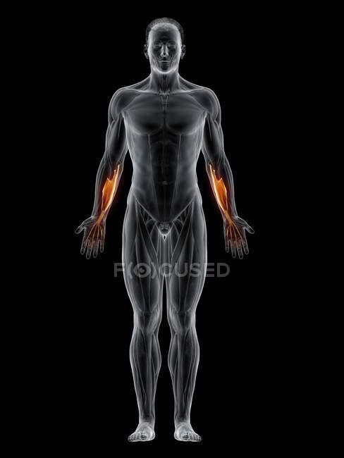 Cuerpo masculino abstracto con músculo Flexor digitorum superficialis detallado, ilustración por ordenador . - foto de stock