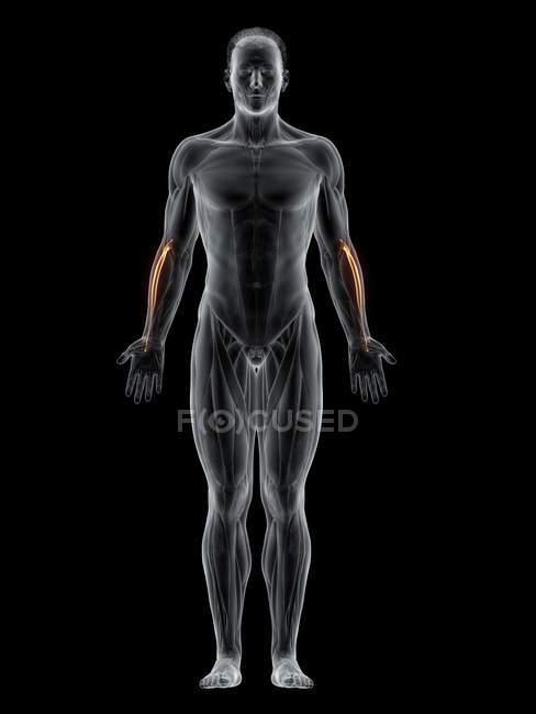 Cuerpo masculino con músculo largo Extensor carpi radialis de color visible, ilustración por ordenador . - foto de stock
