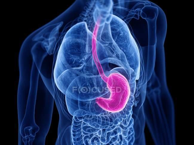 Silueta masculina transparente con estómago de color, ilustración por computadora . - foto de stock