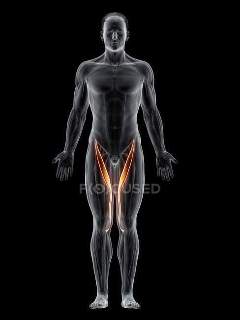 Cuerpo masculino abstracto con músculo Sartorius detallado, ilustración por computadora . - foto de stock