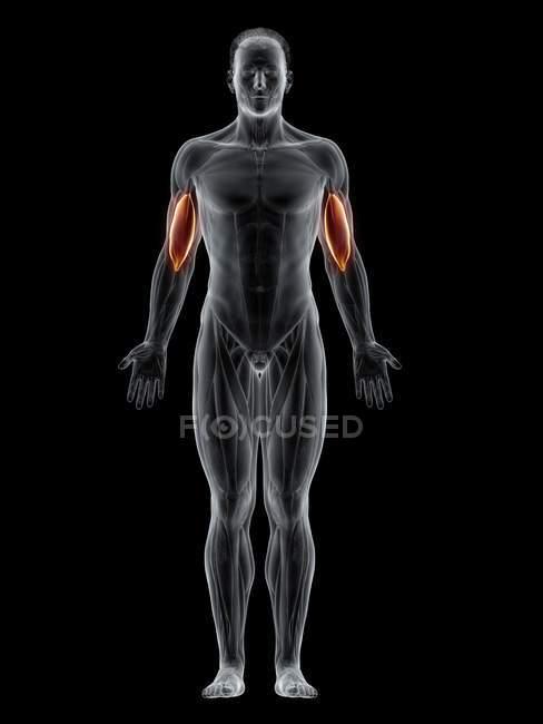 Мужское тело с видимой цветной плечевой мышцей, компьютерная иллюстрация . — стоковое фото