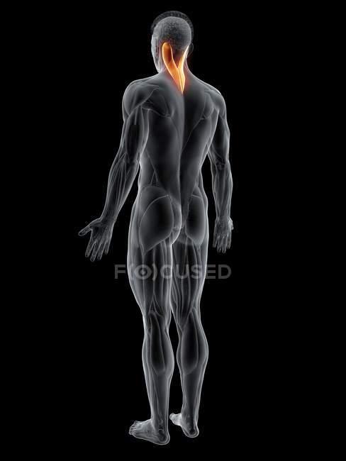Figura masculina abstracta con músculo detallado de la capitis del splenius, ilustración de la computadora . - foto de stock