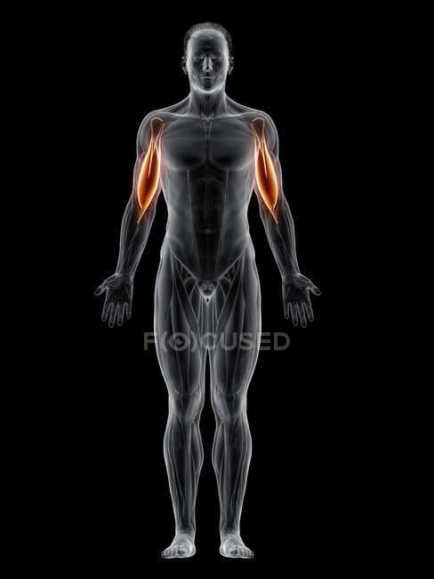Corpo masculino com visível colorido músculo bíceps, ilustração do computador . — Fotografia de Stock