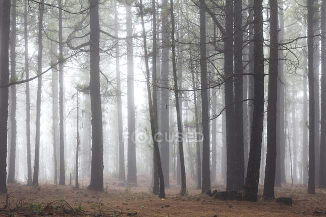 Escondido bosque de pinos canarios en la niebla de La Palma, Islas Canarias.. — Stock Photo