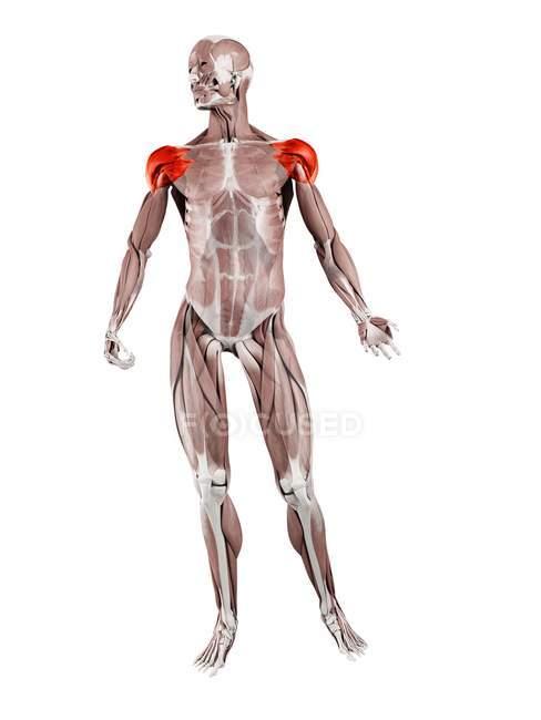 Мужская фигура с детальным изображением дельтовидной мышцы, цифровая иллюстрация. — стоковое фото