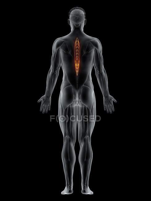 Мужское тело с видимым цветным Spinalis грудной мышцы, компьютерная иллюстрация . — стоковое фото
