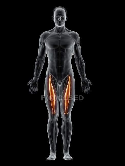 Cuerpo masculino abstracto con músculo recto femoral detallado, ilustración por computadora . - foto de stock