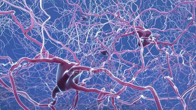Ilustración informática de neuronas (células nerviosas), que se comunican con otras células a través de conexiones sinápticas. - foto de stock