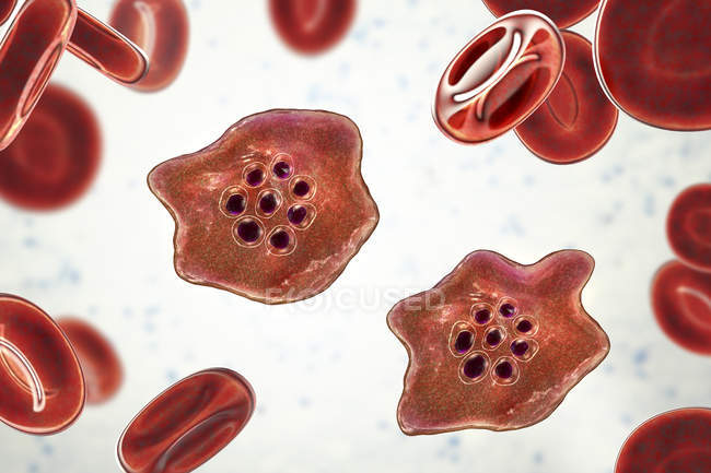 Plasmodium ovale protozoan parasites and red blood cell in flow, illustrazione del computer . — Foto stock
